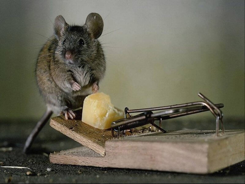 How Often to Change Bait in Mouse Trap