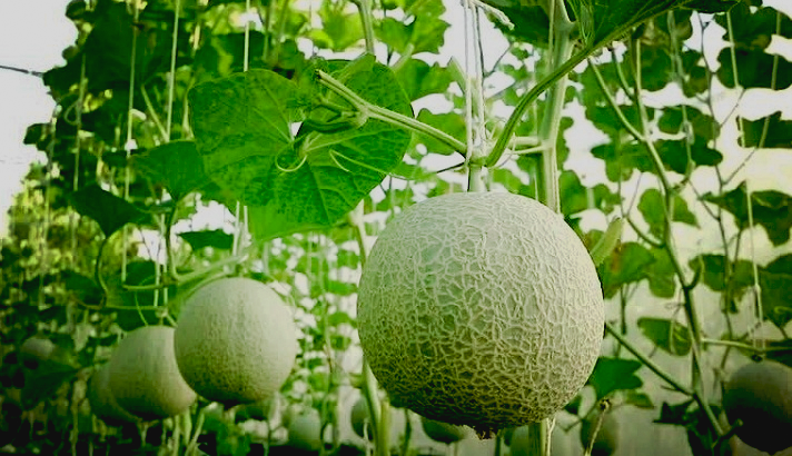 How to Start Planting Cantaloupe