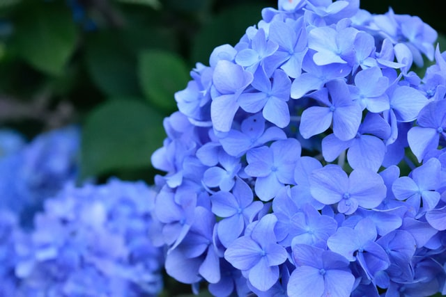 blue hydrangea varieties