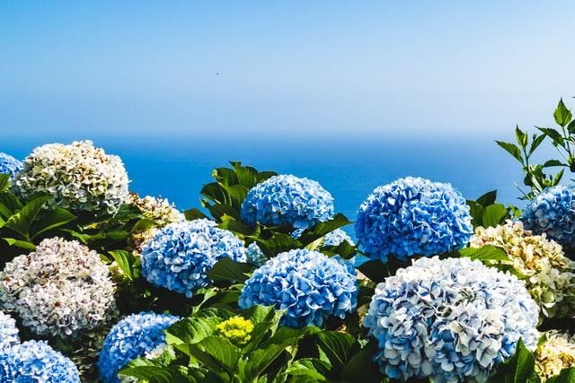 hydrangeas not blooming
