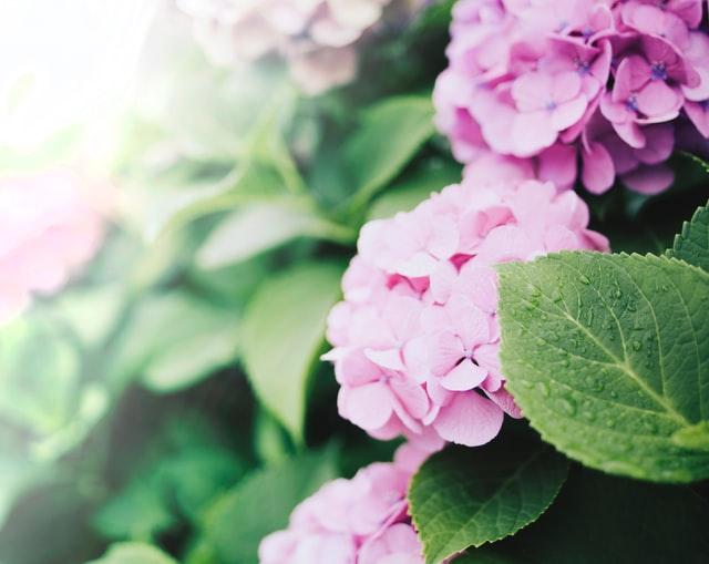 pink hydrangea care