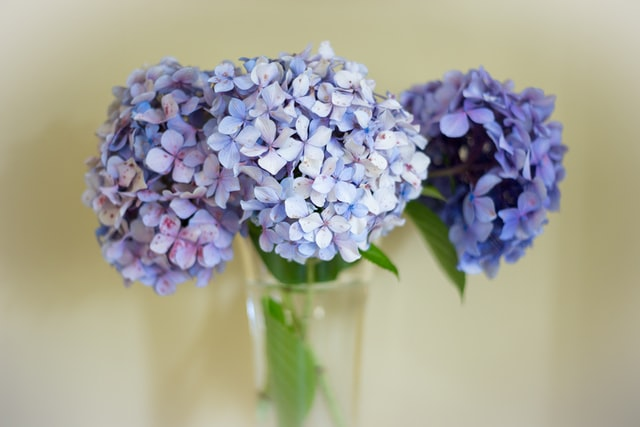 royal purple hydrangea